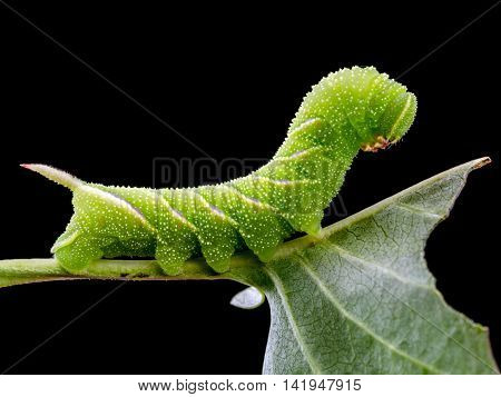 Sphinx ligustri caterpillar eating green leaf on black background