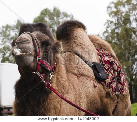 real poor tired circus camel during transportation to diverse zoo