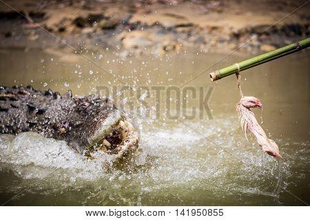 A crocodile attacks bait on a pole in a display in Queensland, Australia