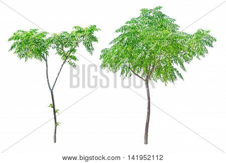 Small green trees isolated on white background. Young sapling with green leaves.
