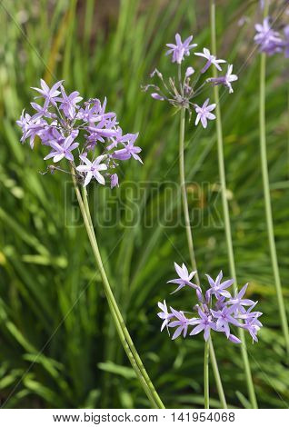 Society Garlic - Tulbaghia violacea From South Africa