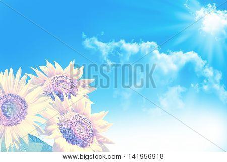 Beautiful sunflower field in summe. blue sky