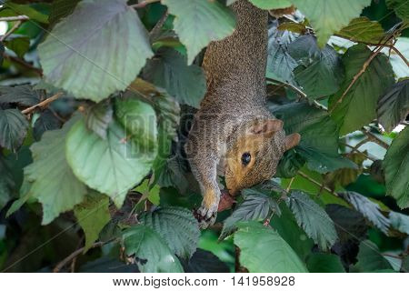 Female Grey Squirrel (Sciurus carolinensis) feeding on Hazelnuts. Upside-down.
