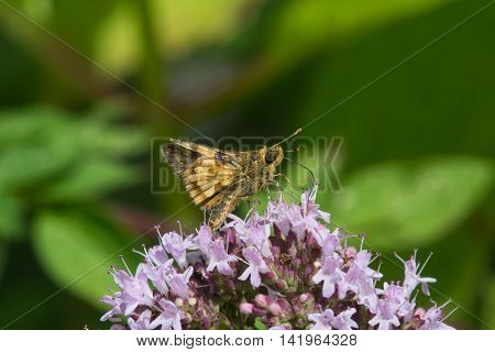 Peck's Skipper Polites peckius feeding on nectar from a flower.