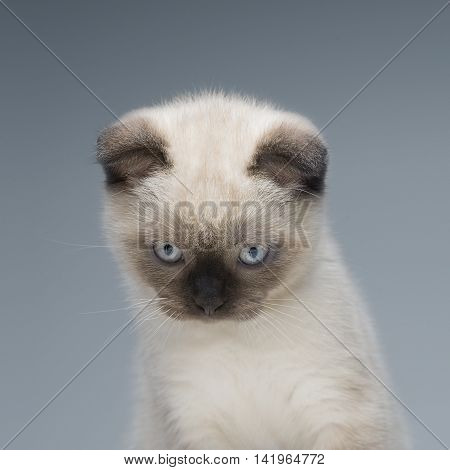 Grey flap-eared kitten on light background playing