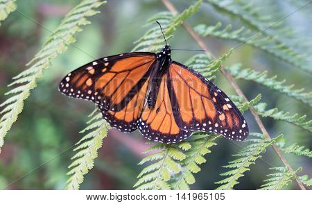 Monarch butterfly resting on a fern front. Photographed in New Zealand NZ.