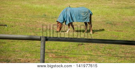 Chestnut brown horse in blue winter blanket with willie wagtail bird on its back grazing in farmland in the Swan Valley in Western Australia