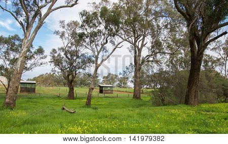 Farmland landscape with small outbuildings in the pasture, tall trees, green grass and yellow wildflowers under a blue sky with clouds in the Swan Valley in Western Australia.