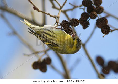 Common Siskin Carduelis spinus feeding with birch seeds