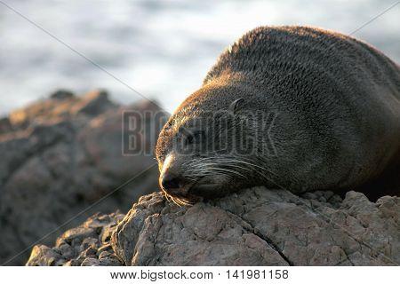 Arctocephalus forsteri, the New Zealand fur seal, southern fur seal or long-nosed fur seal at Cape Palliser, New Zealand