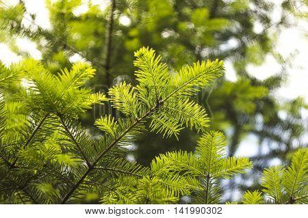 close-up branch of European silver fir (Abies alba) poster