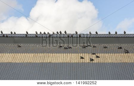 Western Jackdaws on Roof with a partly cloudy sky behind.
