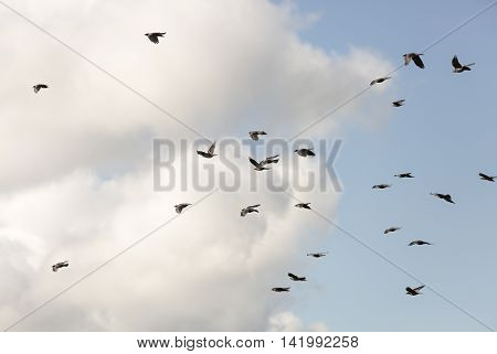 Flock of Western Jackdaws Flying with a partly cloudy sky.