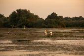 Pelecanus onocrotalus the natural environment the Danube Delta Romania poster