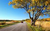Elm tree on the road side in autumn. Car on asphalt road in october poster