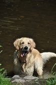 beautiful golden retriever male playing in the water poster