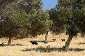 Black sheep in Mediterranean olive grove field poster