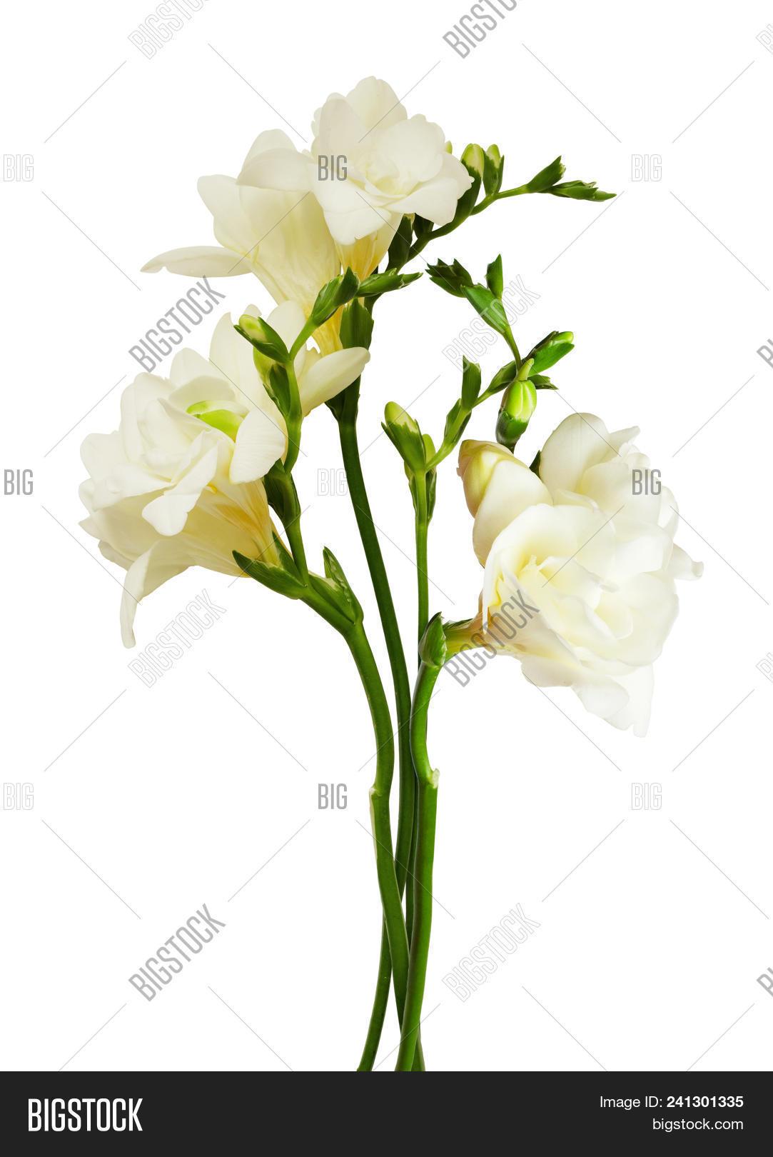 White freesia flowers image photo free trial bigstock white freesia flowers and buds isolated on white background mightylinksfo