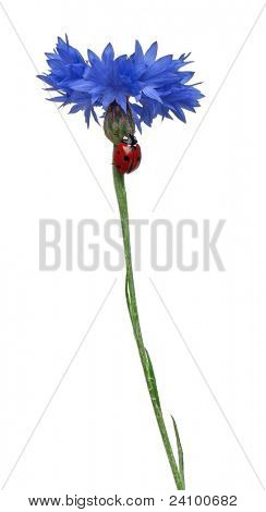 Seven-spot ladybird or seven-spot ladybug on Cornflower, Coccinella septempunctata, in front of white background