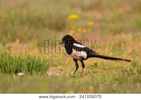 Beautiful Eurasian Magpie, European Magpie, Magpie Perching In The Field.