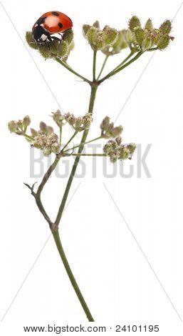 Seven-spot ladybird or seven-spot ladybug, Coccinella septempunctata, on flower stem in front of white background
