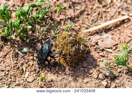 Close Up Single Scarabaeus Sacer Of Sacred Scarab Rolling A Ball Of Dung