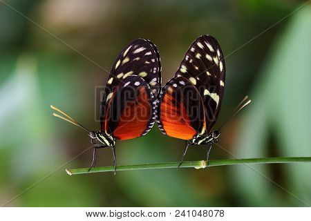 Mating Season. Close-up Of Paar Tropical Butterflies Dido Longwing On The Leaf. Macro Photography Of