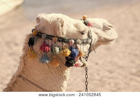 Desert Transport, Travelling, Travel. Camel Animal Head Decorated With Pompoms And Tassels On Blurre