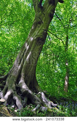 Tall Spring Woodland Beech Tree With Vibrant Green Leaves Growing At A Steep Angle On A Hillside Wit