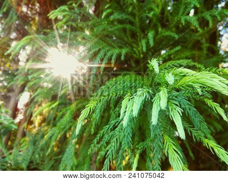 Fir Tree Or Spruce Buds. Young Green Sprouts Fir Tree Needles & Sun Rays Bokeh. Young Growing Fir Tr