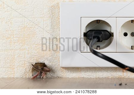 closeup mouse (Mus musculus)  climbs into a hole in the wall with electric outlet. Mice control concept. Extermination. poster