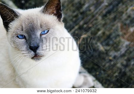 I See You: Cream Siamese Cat With Blue Eyes Looking