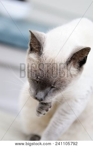 Take A Paws: Cream Cat Licking Her Paws
