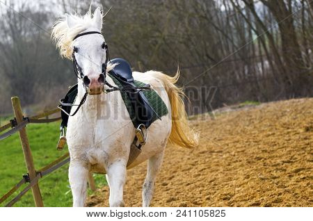 Time For A Show: White Saddled Show Horse Galloping In A Training Ring