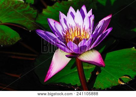 Imagine : Purple Water Lily In A Lake, Florida