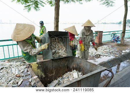 Dead Rotten Fish Took Out Of Polluted Water Putting Into Garbage Can At West Lake, Hanoi