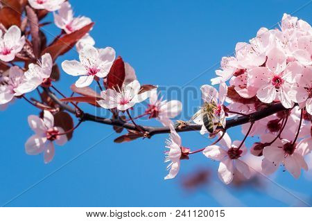 Bee On A Pink Cherry Blossoms. Spring Floral Background On A Blue Sky. Cherry Flowers Blossoming In