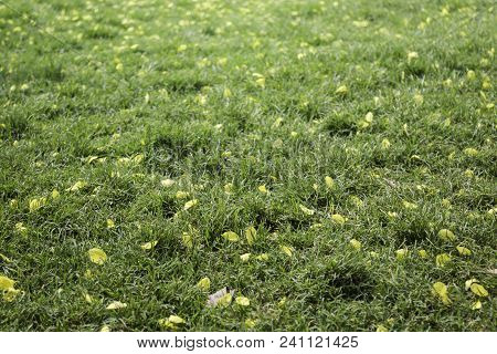 Petals Yellow Flower On Green Grass In Summer, Stock Photo