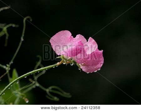 Pink sweet pea against black background, after summer rain poster
