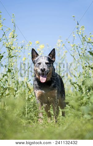 Spring Vertical Portrait Of Happy Australian Cattle Dog Staying On Rapeseed Field.  Purebred Dog Pos