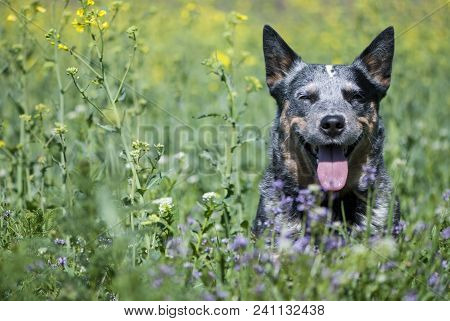 Spring Portrait Of Happy Australian Cattle Dog On Green Grass.  Purebred Dog Posing Sitting In A Rap