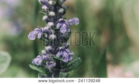 Bugleherb (ajuga Reptans) - A Flourishing Plant In The Forest