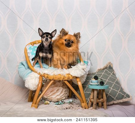 Chihuahua dogs sitting on chair sitting on chair in studio, portrait