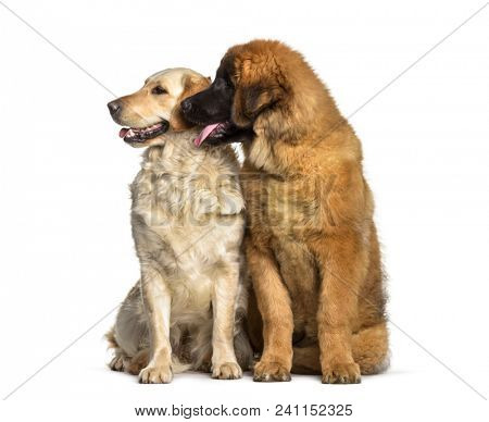 Leonberger puppy, 4 months old, and Labrador Retriever dog , 1 year old, sitting against white background