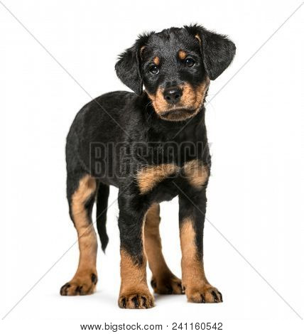 Mixed-breed dog , 2 months old, standing against white background