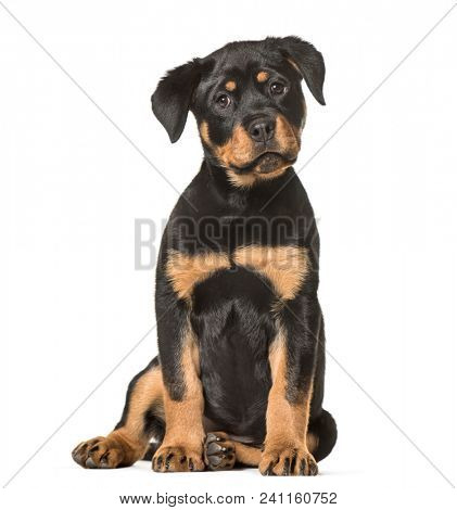 Rottweiler puppy, 3 months old, sitting against white background