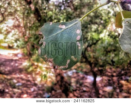 The Leaves Are Worn By Harmful Insects And Lack Of Interest