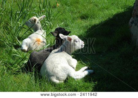 Twin Lambs.