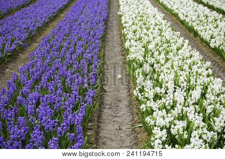 A Field Of Narcissus Flowers Blooming In The Colors Purple And White