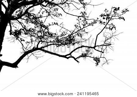Dead Branches , Silhouette Dead Tree Or Dry Tree On White Background.